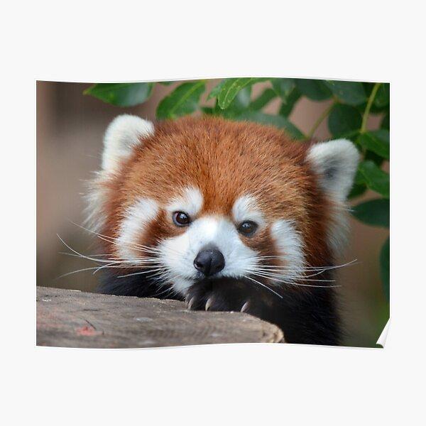 Shy Red Panda Poster