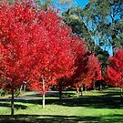 Autumn Trees in Drouin, Gippsland by Bev Pascoe
