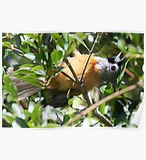 Sunbaking ( Black-faced Monarch ) Poster