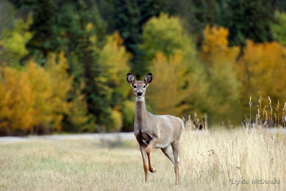 Saskatchewan Doe - Deer by Lynda   McDonald