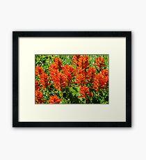Indian paintbrush (Castilleja) - Wildflowers Framed Print