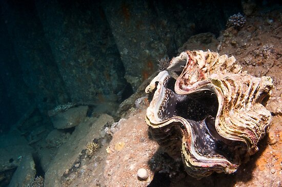 Underwater photography of a large clam in a coral reef in the Red Sea, Eilat, Israel  by PhotoStock-Isra