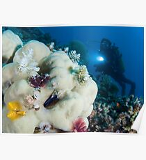 Christmas tree worms (Spirobranchus giganteus) on a coral. Poster