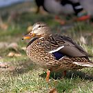 Female Mallard by Lori Peters