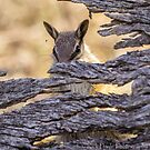 Numbat Watching by Rick Playle