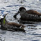 Pink-eared Ducks by triciaoshea