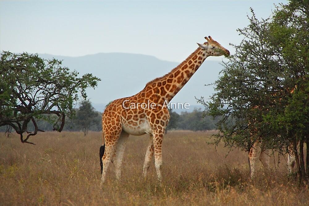 Quot Rothschild S Giraffe Feeding Lake Nakuru Kenya Quot By