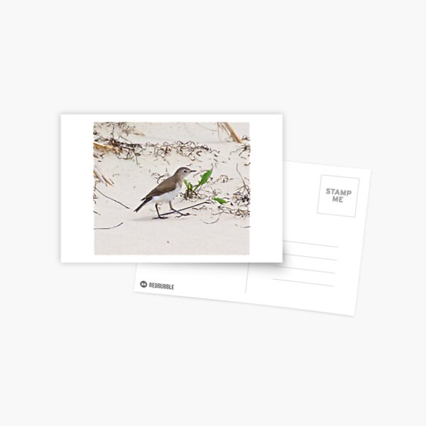 CHAT ~ White-fronted Chat by David Irwin Postcard