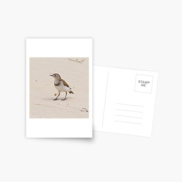 CHAT ~ White-fronted Chat Xdfdj9J3 by David Irwin Postcard