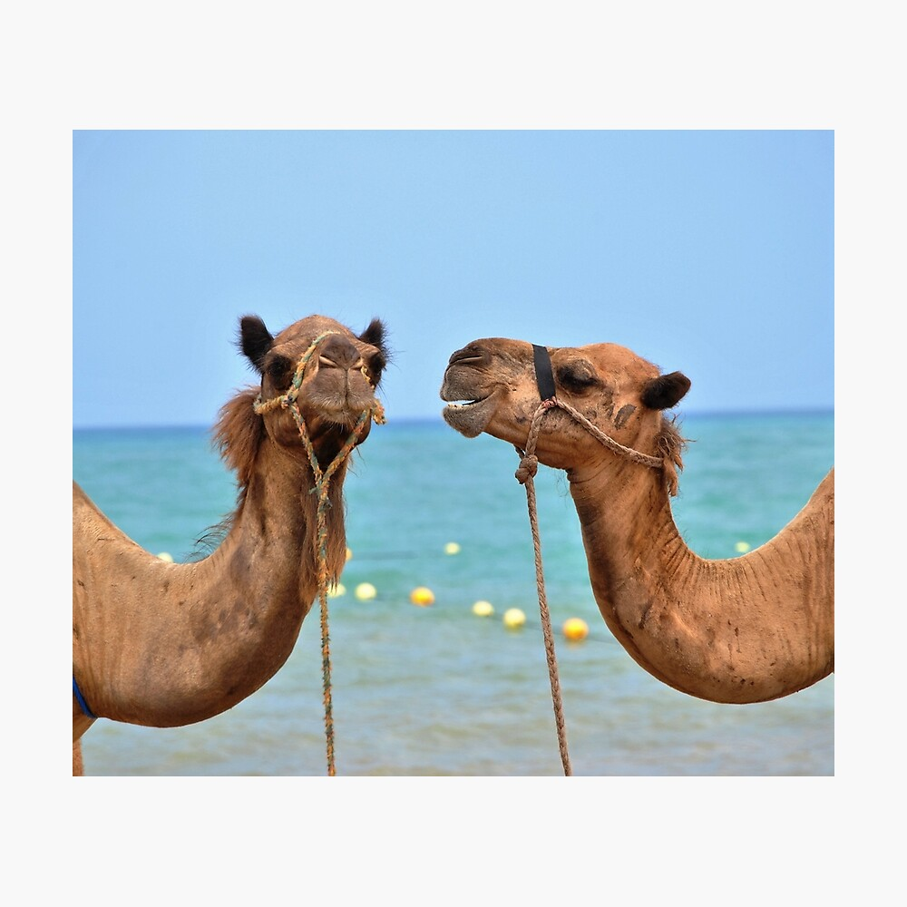 Camellos de playa Lámina fotográfica