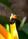 Heliconia Beetle by Graeme  Hyde