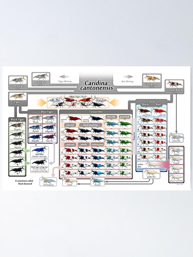 Alternate view of Caridina cantonensis Family Tree Poster