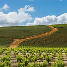 Stellenbosch vineyard by Neville Jones