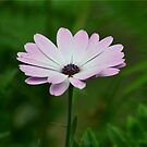 Purple Daisy  by Sparowsong