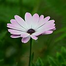 Purple Daisy 2  by Sparowsong