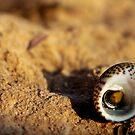 Seashell by dedakota
