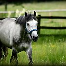 Grey running Free  by Sparowsong