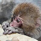 baby snow monkey by Istvan Hernadi