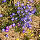 Western Australian Wildflowers, Kings Park, Perth.  by johnrf