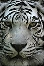 Stripes on a tiger don't wash away............ by jammingene