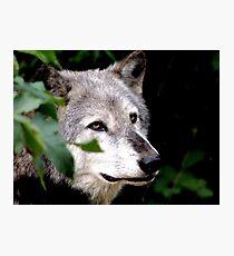 Timber Wolf 1 Photographic Print