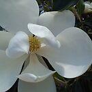 Florida Magnolia by revdrrenee