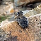 Pika by algill