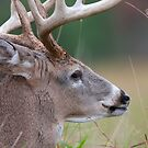 White-tailed buck, Quebec, Canada by Jim Cumming
