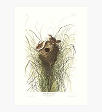 Sedge Wren - John James Audubon Art Print