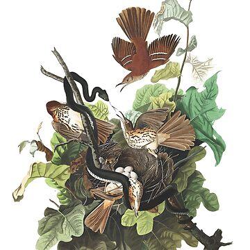 Brown Thrasher - John James Audubon by billythekidtees