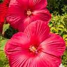 Hardy Hibiscus (Hibiscus moscheutos) by Sue Smith