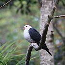 White-headed Pigeon by aussiebushstick