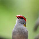 Red-browed Finch by aussiebushstick