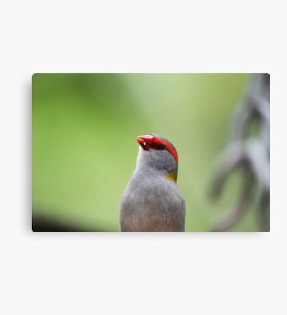 Red-browed Finch Metal Print