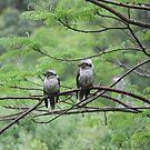Two Wet Kookaburras by aussiebushstick