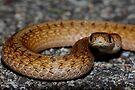 Northern Brown Snake #1  by Kane Slater