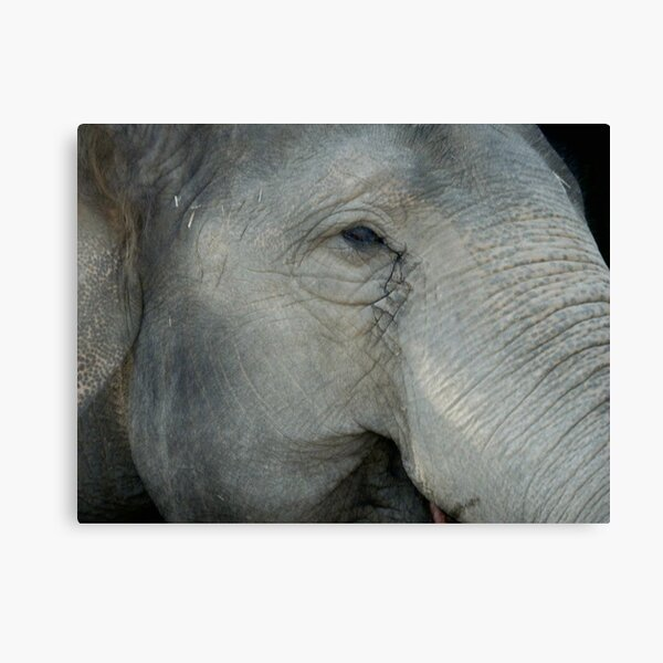What Does She Think of Us? Elephant, Beerwah, Queesland, Australia. Canvas Print