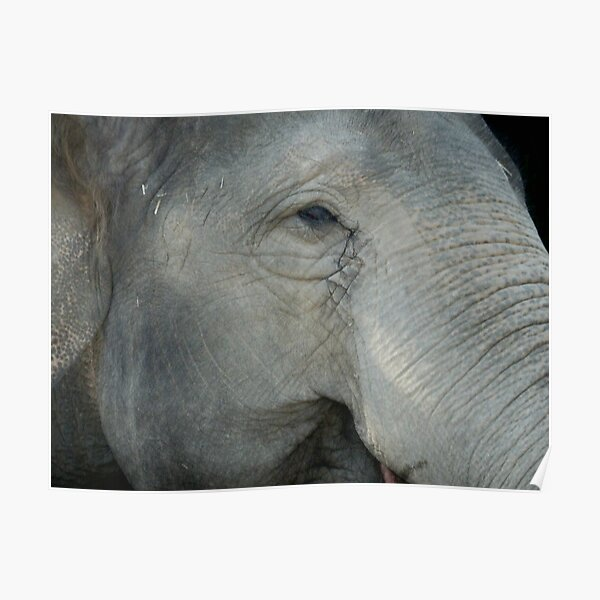 What Does She Think of Us? Elephant, Beerwah, Queesland, Australia. Poster