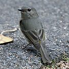 Golden Whistler (Female) by triciaoshea