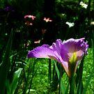Purple Iris by Lori Epperson