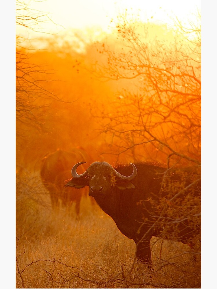 African buffalo (Syncerus caffer) at dusk by ShannonPlummer