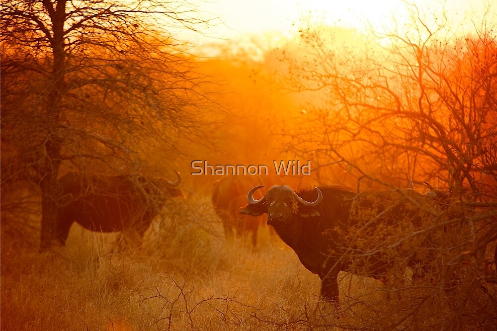 African buffalo (Syncerus caffer) at dusk by Shannon Wild