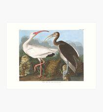White Ibis - John James Audubon Art Print