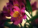 Alstroemeria - Little Lily by naturelover