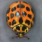 Sir Ladybird by Glenda Jones