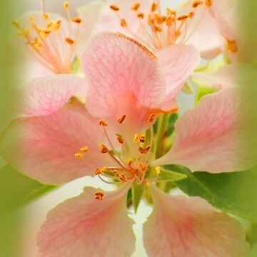 Apple Blossoms in Spring by CCWriter