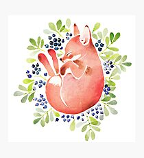 Sleeping fox and blue berries Photographic Print