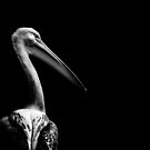 Pelican On Black by George Wheelhouse
