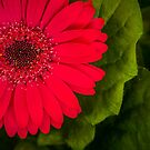 Gerbera Flower Macro by George Wheelhouse