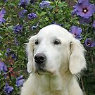 Portrait of Golden Retriever Ditte by Trine